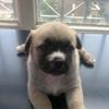 快3个月的狗狗找领养,超可爱