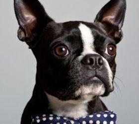 波士顿梗|波士顿犬,波士顿