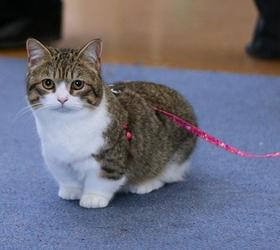曼切堪猫|曼基康猫