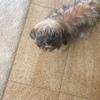 有一只三个月大的约克夏求爱狗人士领养