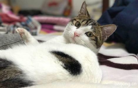 杭州小猫咪已绝育待领养5