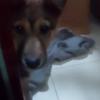 中华田园犬求领养