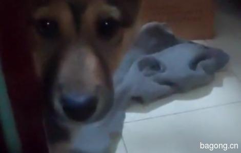 中华田园犬求领养0