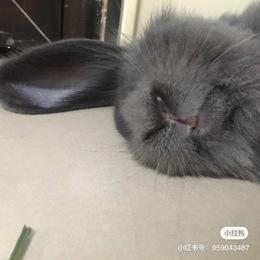给灰色小垂耳兔找个爱她的主人