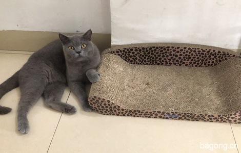 一岁蓝猫求领养 (最好有一定经济能力!)1