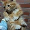 可爱的橘猫弟弟求领养