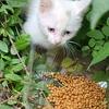 鸳鸯眼小白猫求领养