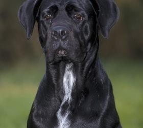 卡斯罗犬|意大利卡斯罗犬,卡斯罗