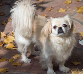 京巴犬|京吧,京吧犬,北京犬