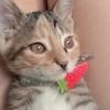 一只梨花猫叫牛奶,两个半月大颜...