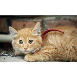 两个月健康小黄猫求领养