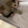 路上捡的三花母猫 做了体检和传染病筛查都正常