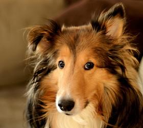 苏格兰牧羊犬|苏牧,柯利牧羊犬,粗毛柯利犬