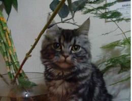 我的爱猫丢失了、好心人看到一定要联系我。长毛虎斑美短