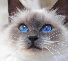 孟买猫|小黑豹|黑孟买|蒙娜丽莎的萌猫