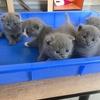 小短腿蓝猫,蓝白