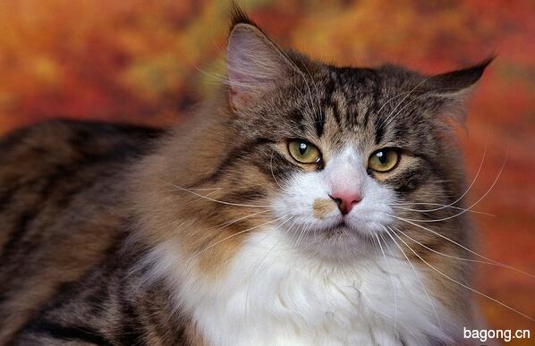 教您快速辨别猫星人品种!!!13