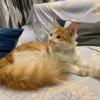 10个月小橘猫一只求爱猫人收养