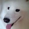 10月12日上午在岚霞路附近走失狗狗一只,萨摩耶犬