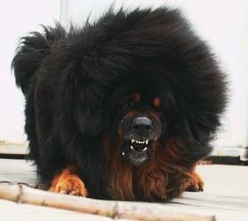 藏獒|西藏獒犬,藏獒犬