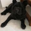 我有一只黑色松狮犬需要找个的人家