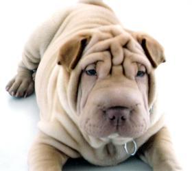 沙皮犬|沙皮,大沥沙皮,沙皮狗