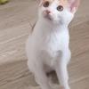 中华田园猫,有需要的可以联系我