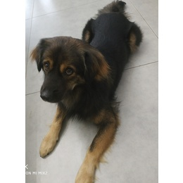国犬求收养