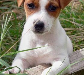 杰克罗素梗|帕尔森罗塞尔梗,杰克罗塞梗,杰克罗素狗,杰克罗素犬