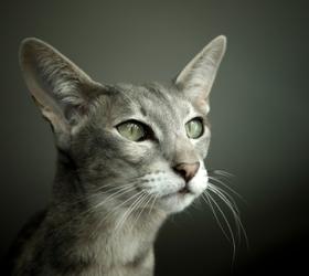 东方猫|东方短毛猫|东方长毛猫