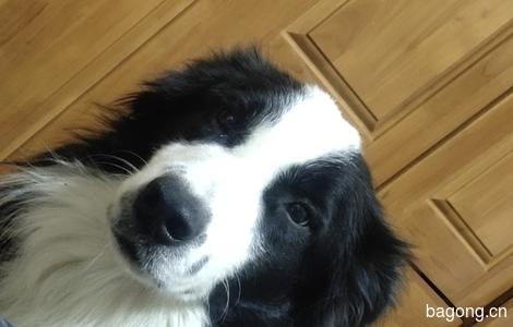 边牧狗狗 1岁5个月,干净卫生0