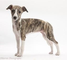 惠比特犬|威比特犬,惠比特,鞭犬