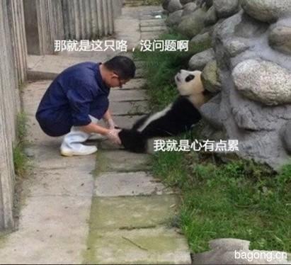 世界上最容易被抱大腿的工作:熊猫驯养师。13