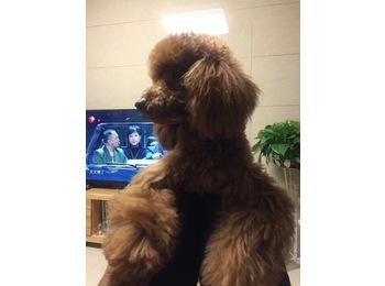 泰迪狗狗求好心人领养