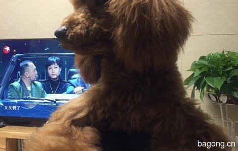 泰迪狗狗求好心人领养0
