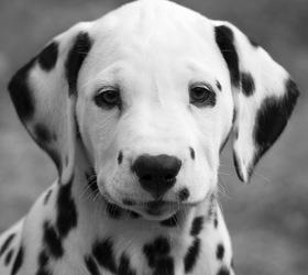 大麦町犬|斑点犬,斑点狗,斑点,达尔马提犬