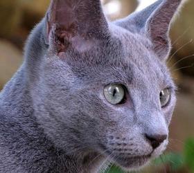 俄罗斯蓝猫|俄罗斯蓝猫|俄国短毛...