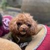 寻贵宾犬:happy 棕色毛发,体...