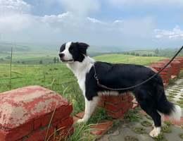 狗狗品种: 边境牧羊犬 丢失时...