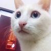 猫的特征:全身白色,蓝眼睛,略...