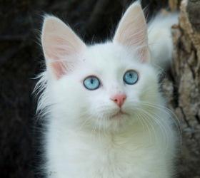 土耳其安哥拉猫|安哥拉猫|安卡拉猫