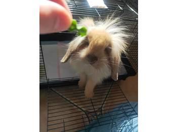 垂耳兔领养