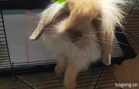 垂耳兔领养0