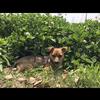 中华田园犬一只1岁