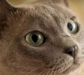东奇尼猫|越南猫,金暹罗猫