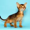 阿比西尼亚猫