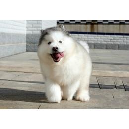 阿拉斯加幼犬领养