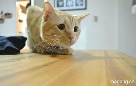 哈哈,这只猫一用逗猫棒  瞬间变身梁朝伟5