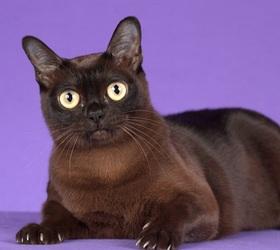 欧洲缅甸猫|欧洲缅甸|欧缅
