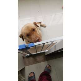 3岁拉布拉多犬求好心家庭领养